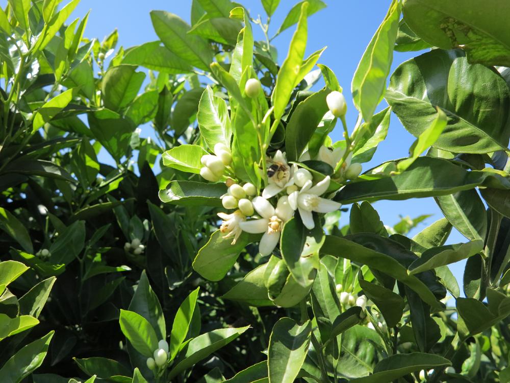 Orange Blossom Azahar Properties